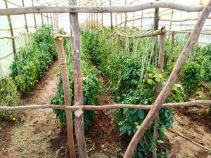 FSL Bahir Dar: Tomato under rain shelter