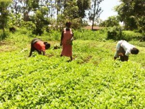 FSL Kisumu cowpea leaves farm