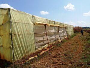 FSL Bahir Dar: Rain shelter for tomato production
